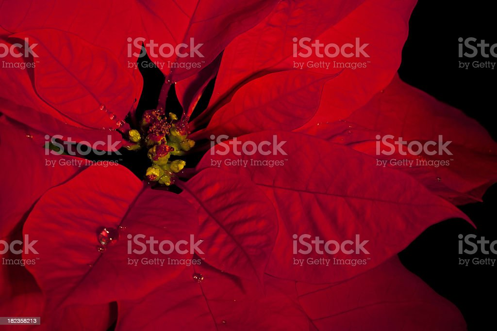Poinsettia Close-up Isolated on Black royalty-free stock photo