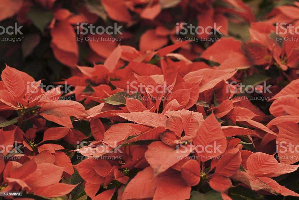 Poinsettia field stock photo