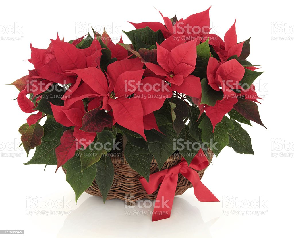Poinsettia Flower Arrangement royalty-free stock photo
