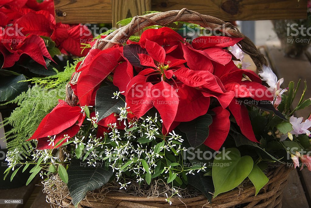 Poinsettia flower basket with more flowers in background royalty-free stock photo