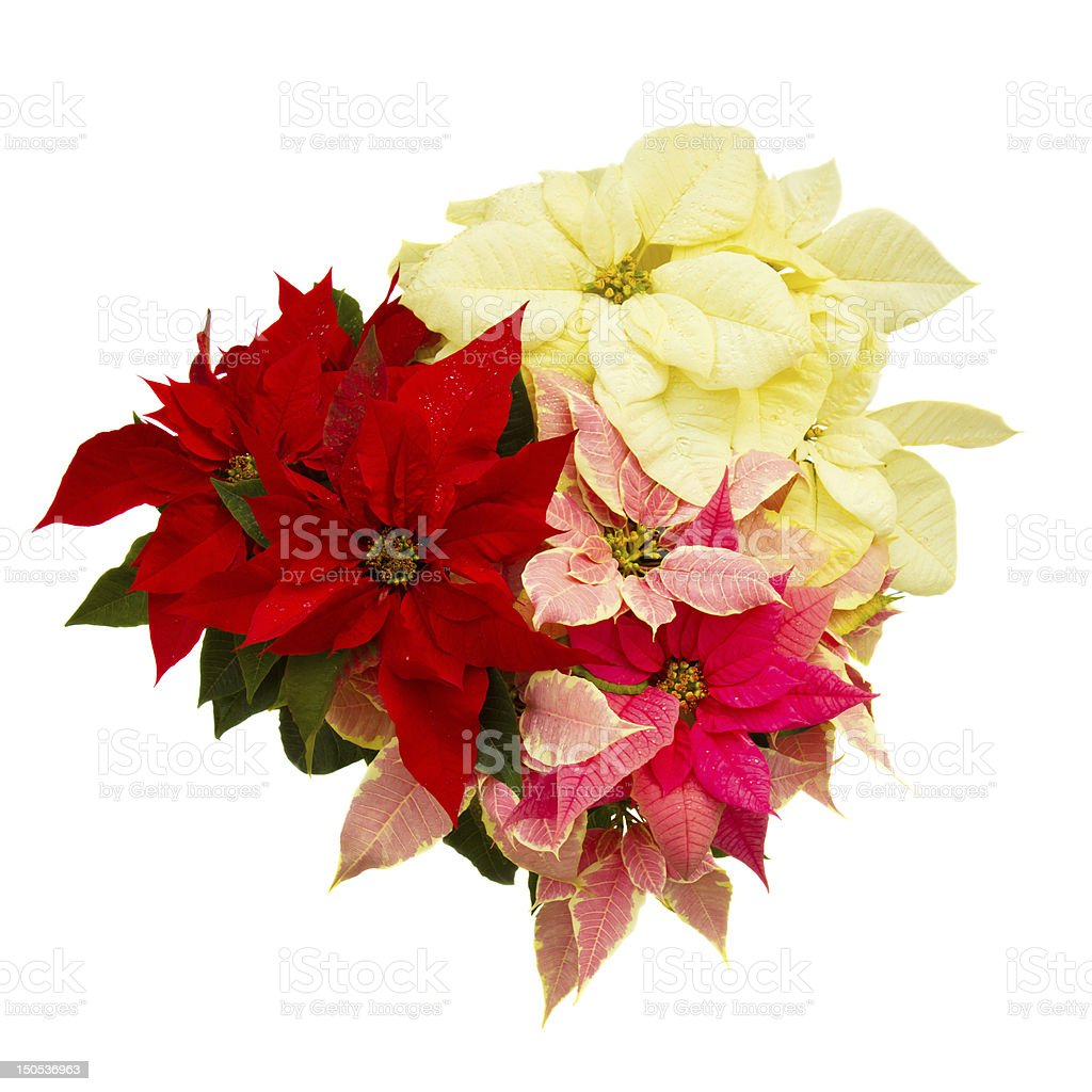 Poinsettia flower - christmas star stock photo