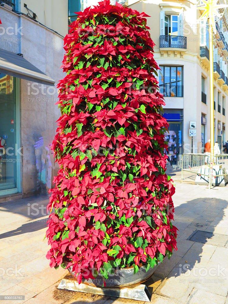 Poinsettia flower column stock photo