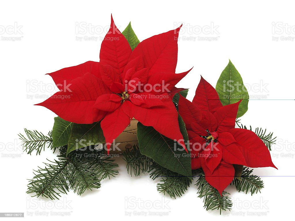 Poinsettia flower royalty-free stock photo
