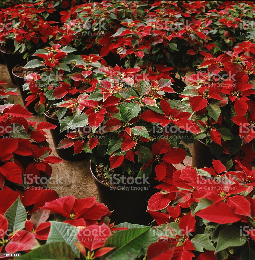 Poinsettia flowers for sale stock photo