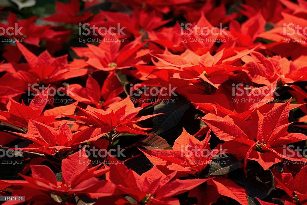 Poinsettia flowers royalty-free stock photo