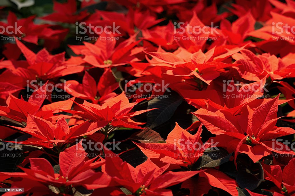 Poinsettia flowers stock photo