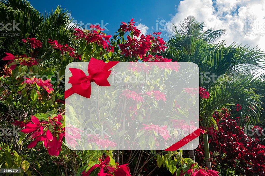 Poinsettia growing wild in the Carribean stock photo
