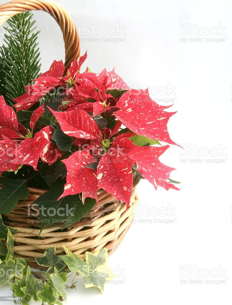 Poinsettia in basket stock photo