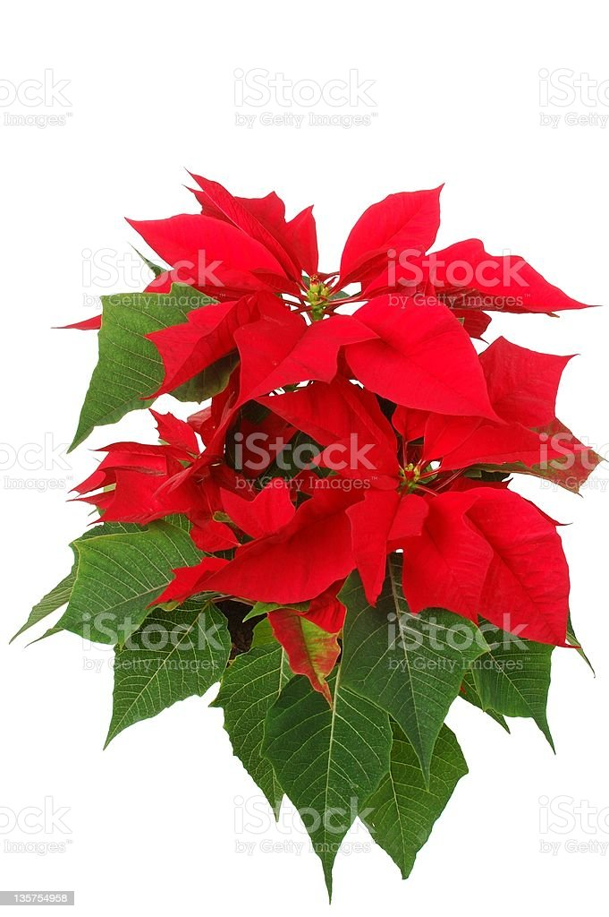 Poinsettia in full bloom on a white background royalty-free stock photo