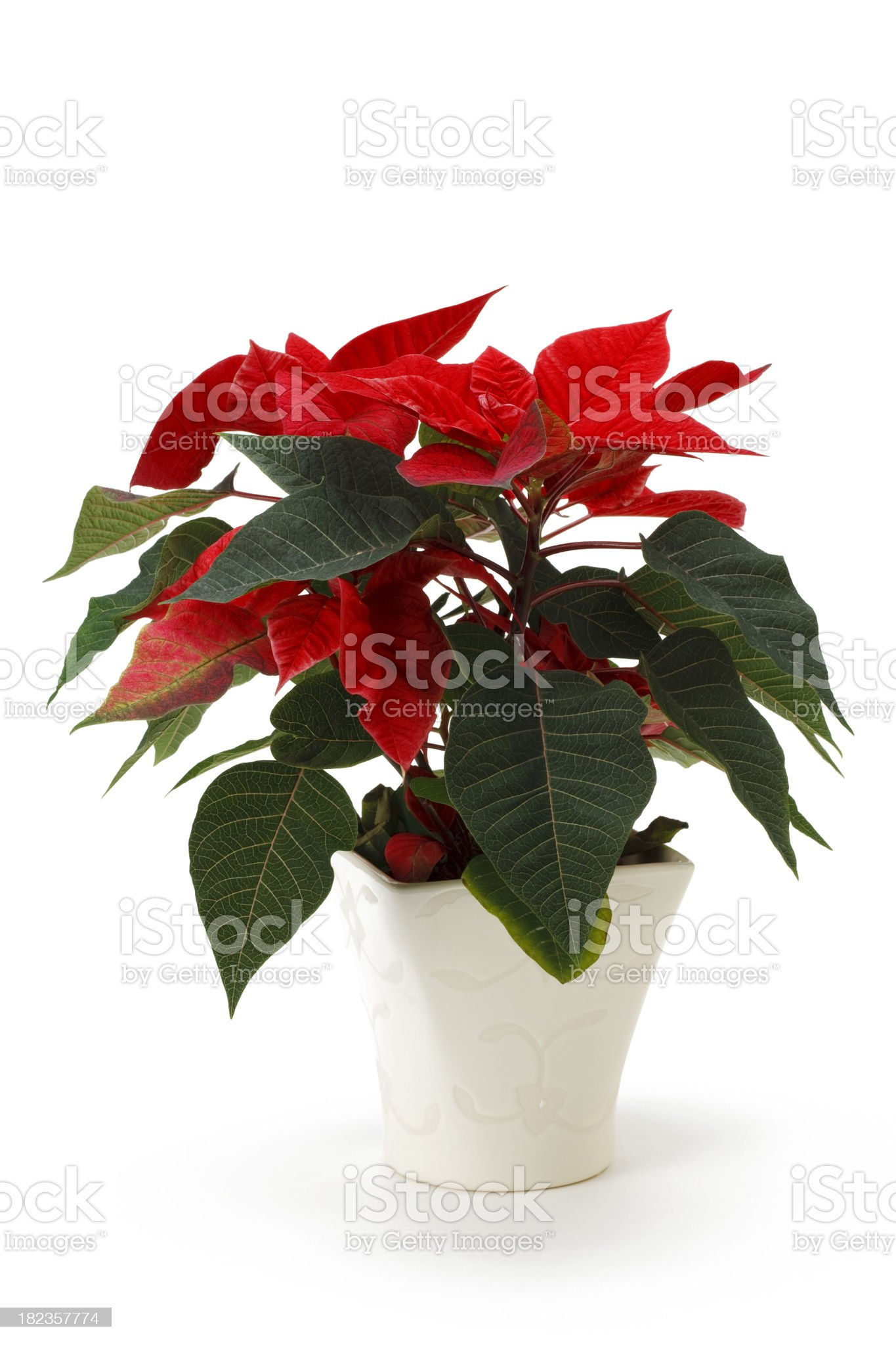 Poinsettia - Isolated royalty-free stock photo