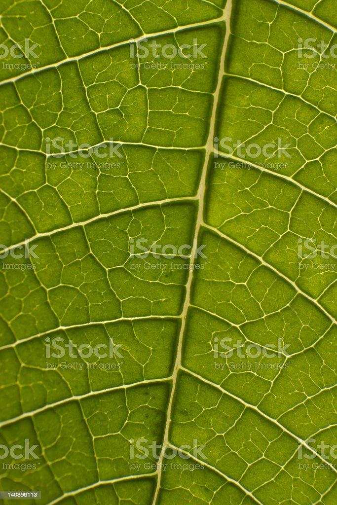 poinsettia leaf closeup royalty-free stock photo
