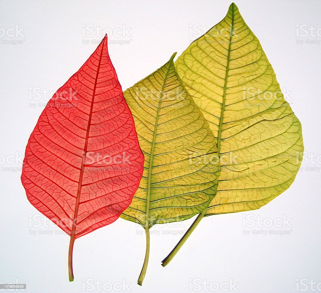 Poinsettia Leaf royalty-free stock photo