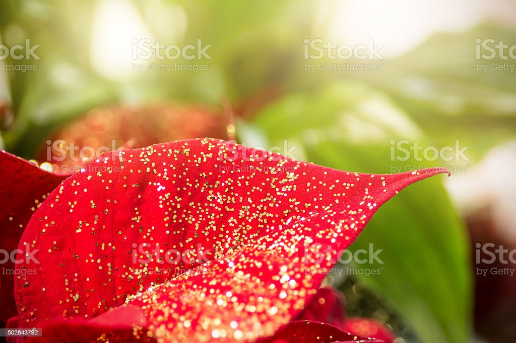 Poinsettia leaf with golden glitter in Christmas holidays stock photo