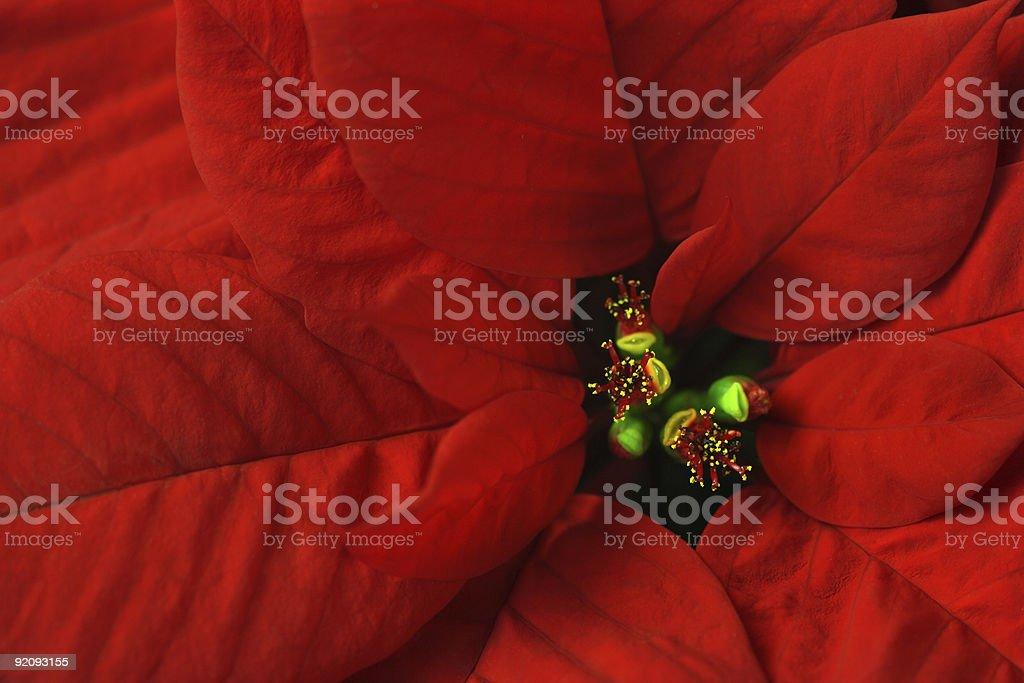 Poinsettia macro stock photo