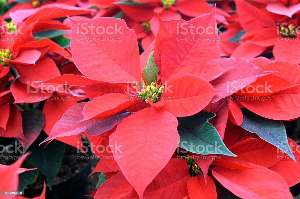Poinsettia Nochebuena Pascua - Ornamental Flowers stock photo
