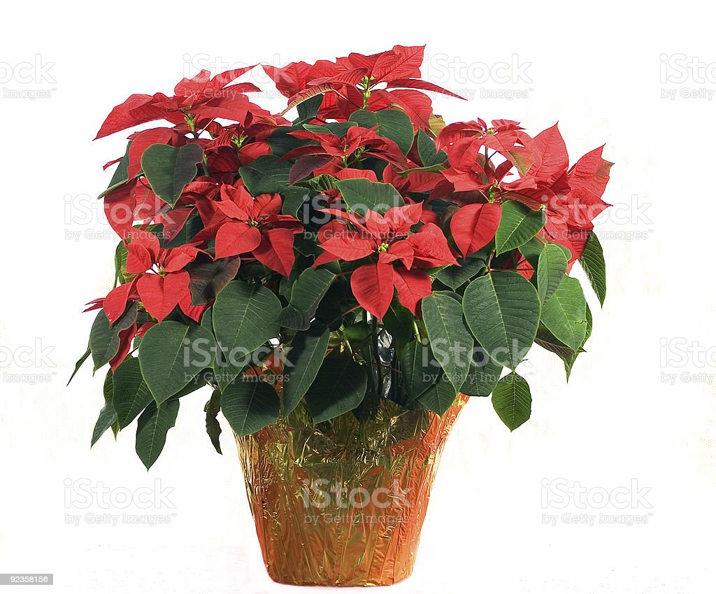 Poinsettia on White royalty-free stock photo