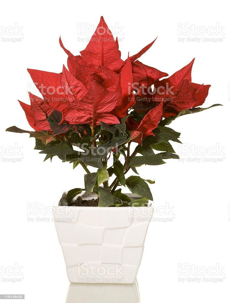 Poinsettia (Euphorbia pulcherrima) royalty-free stock photo