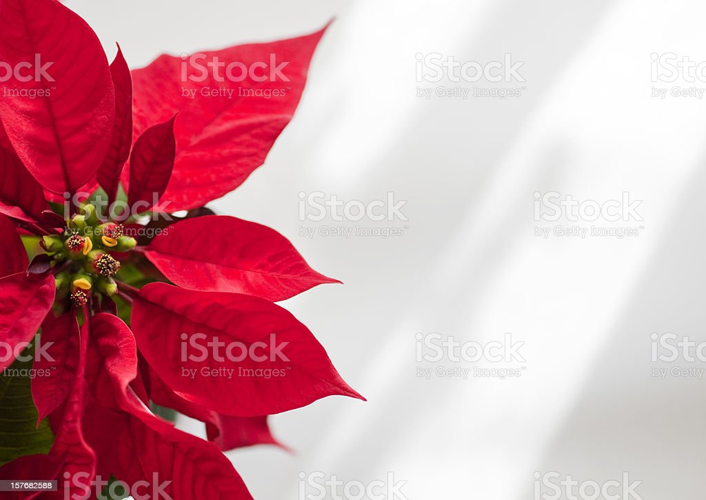 Poinsettia royalty-free stock photo