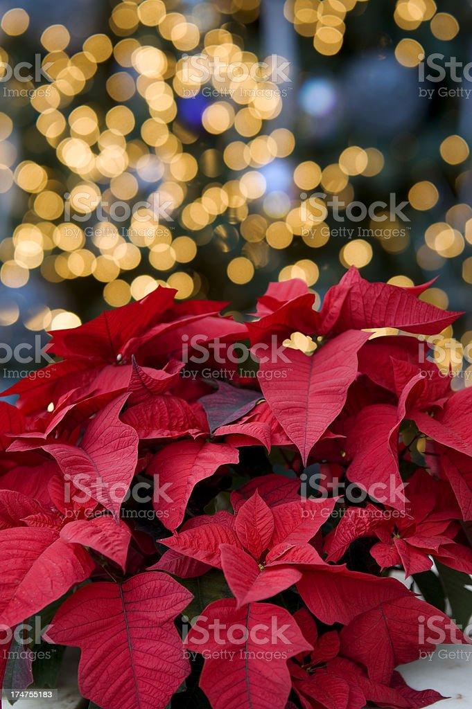 Poinsettia stock photo