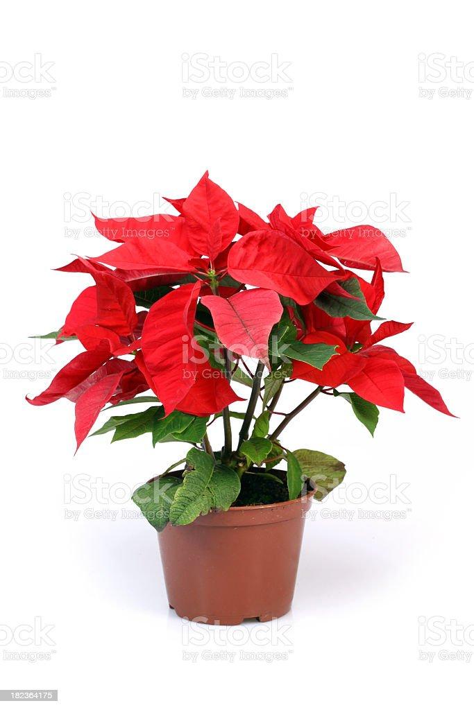Poinsettia royalty-free stock photo