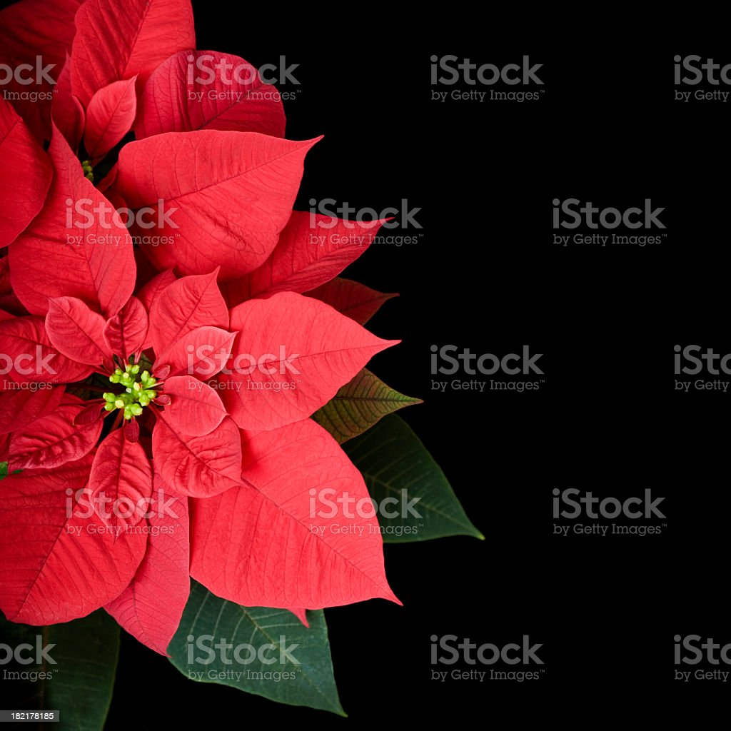 Poinsettia Plant on Black With Copyspace royalty-free stock photo