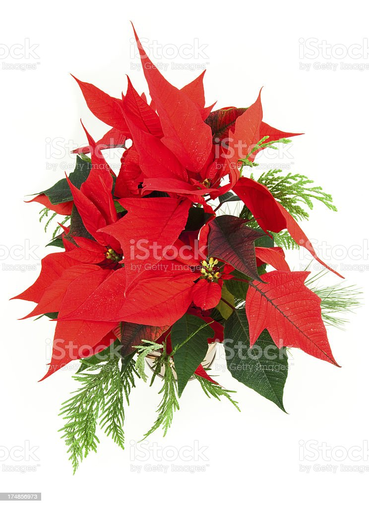 Poinsettia plant on white royalty-free stock photo