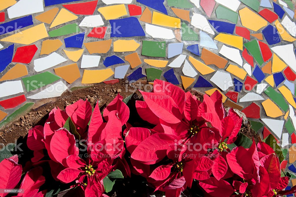Poinsettia plants and multicolored tiles stock photo