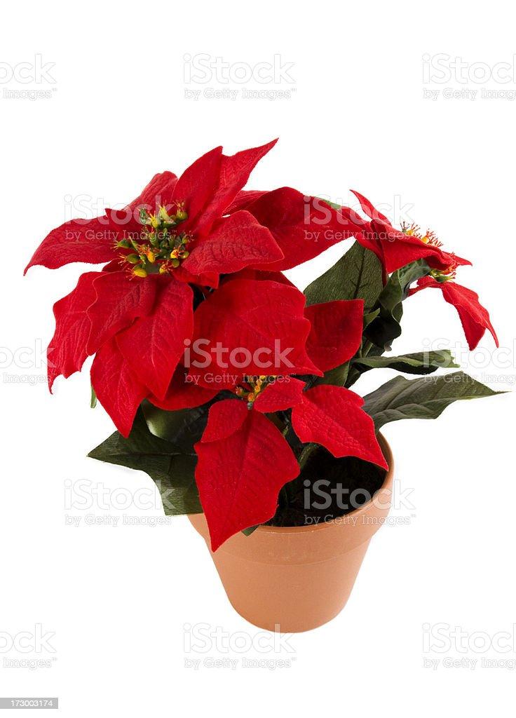 Poinsettia pot royalty-free stock photo