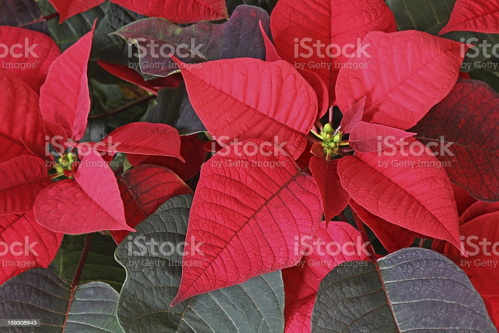Poinsettia Red Flower royalty-free stock photo
