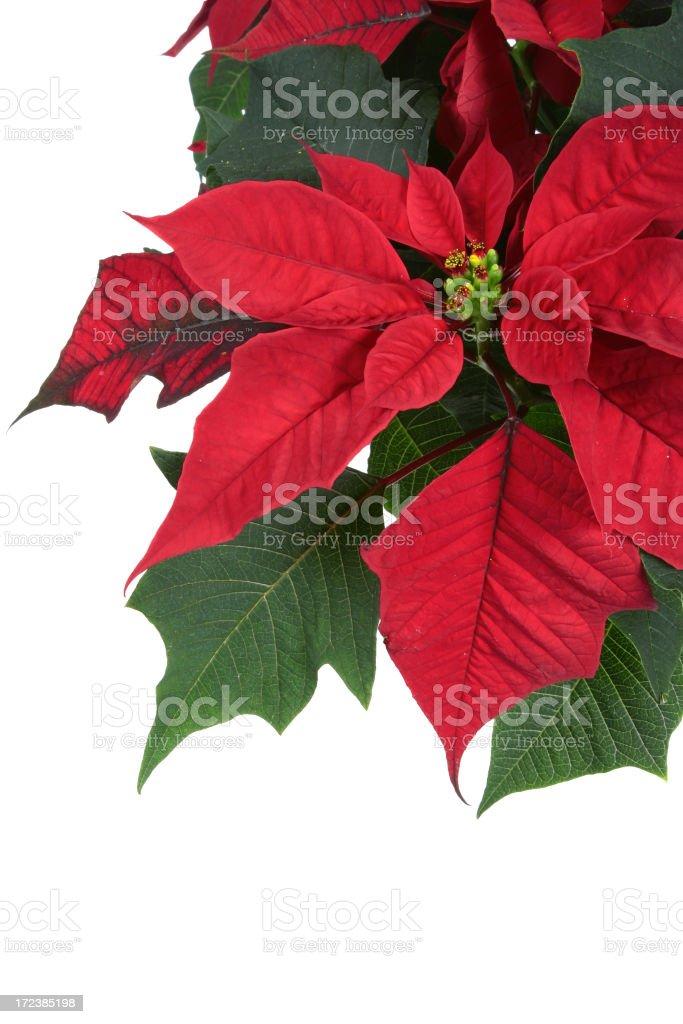 Poinsettia Series royalty-free stock photo