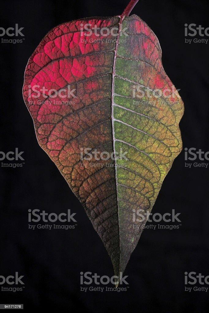 Poinsettia Transformation royalty-free stock photo