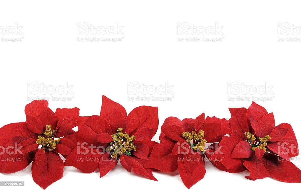 Poinsettias flower stock photo