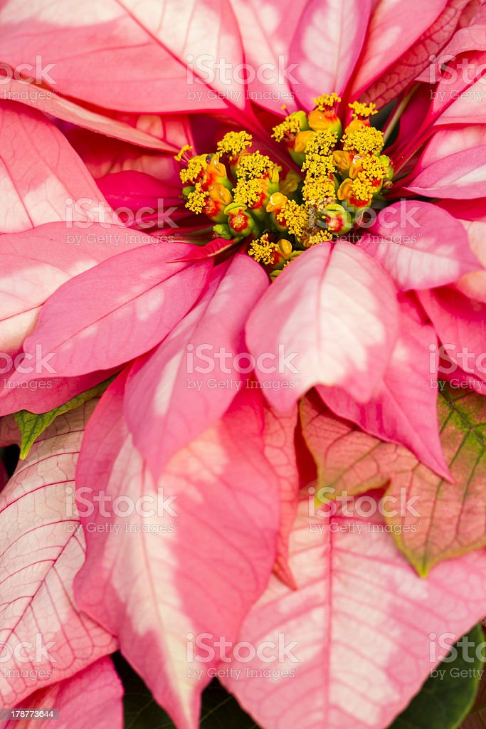 Poinsettias stock photo