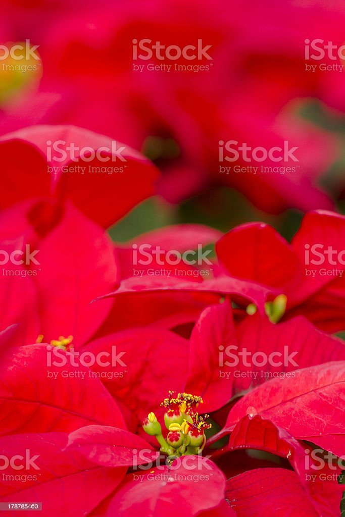 Poinsettias royalty-free stock photo