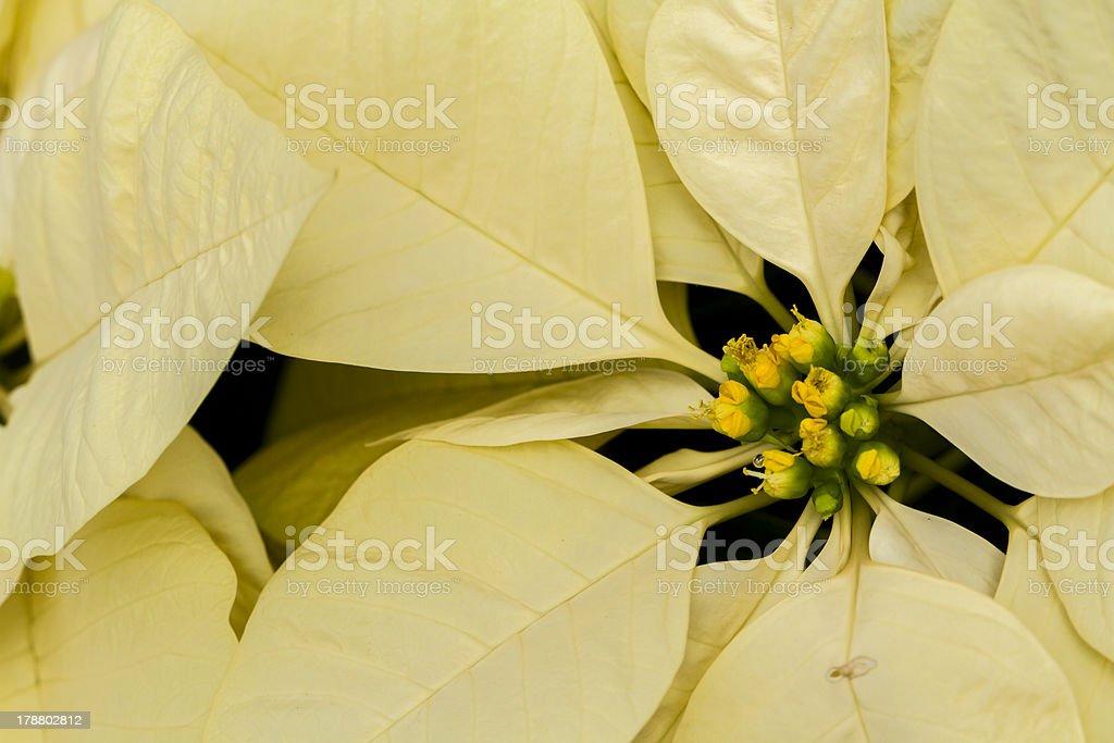 Poinsettias royalty-free stock photo