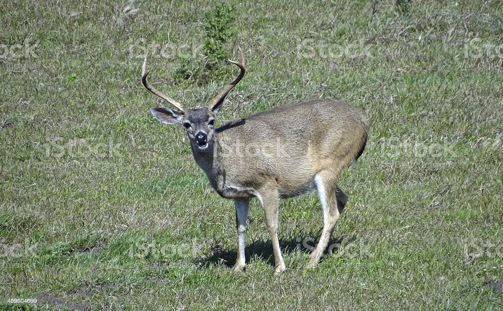 Point Reyes Buck stock photo