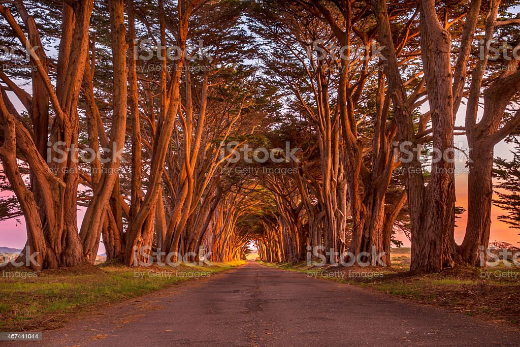 Point Reyes Cypress Tunnel at Sunset stock photo