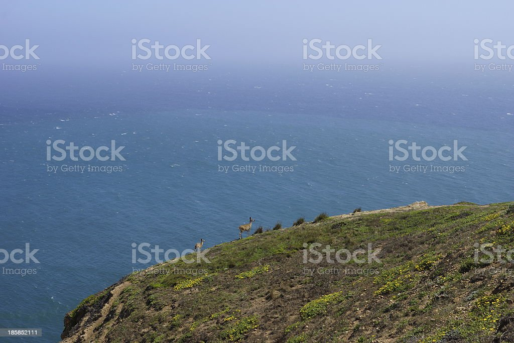 Point Reyes Deer stock photo