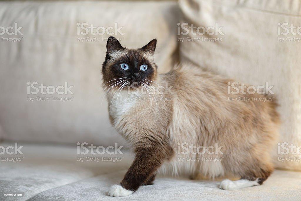 Point Sacred Birman cat stock photo
