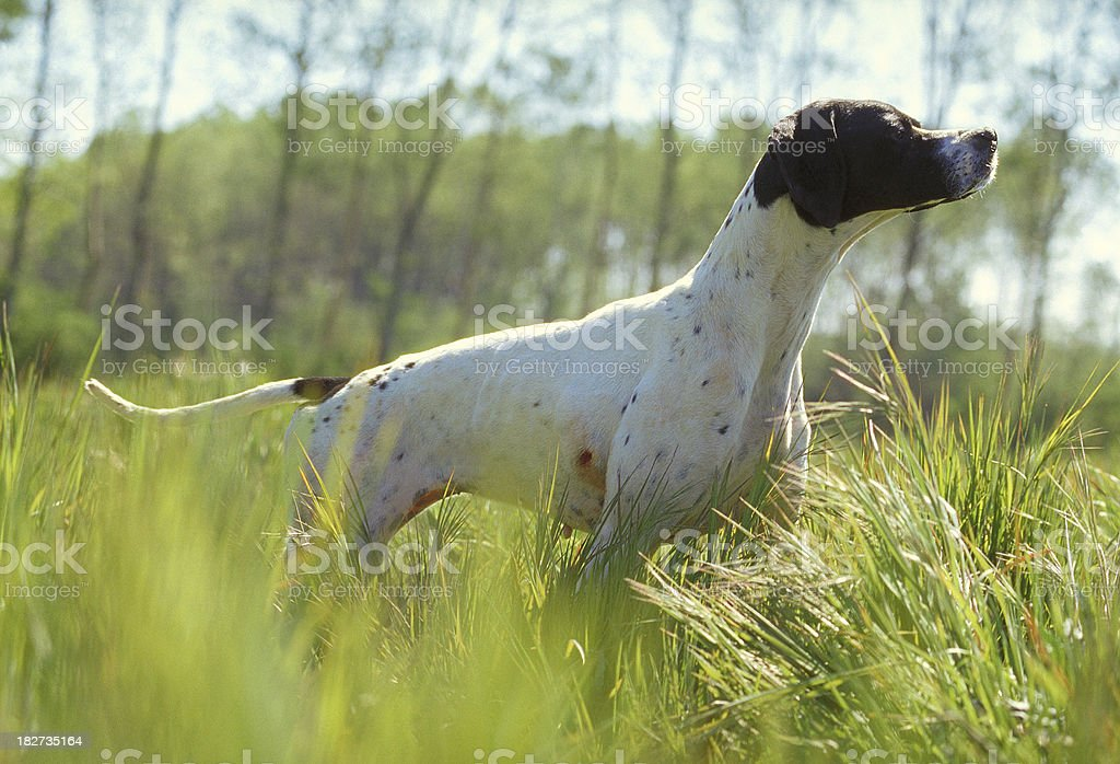 Pointer dog with black head, among the tall grass stock photo