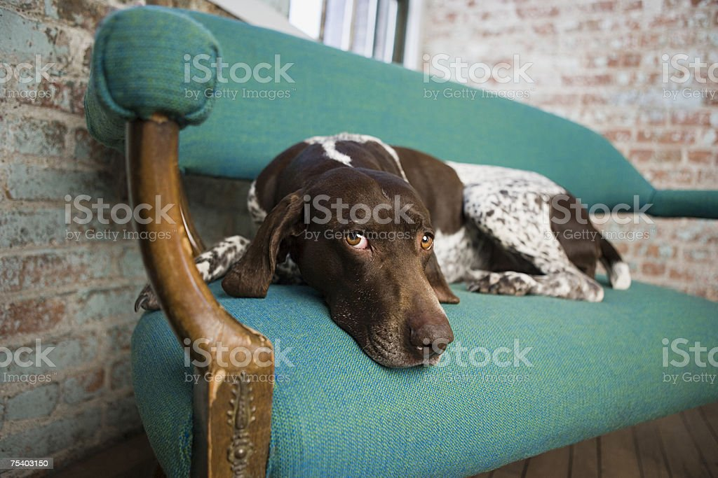Pointer on a chair stock photo