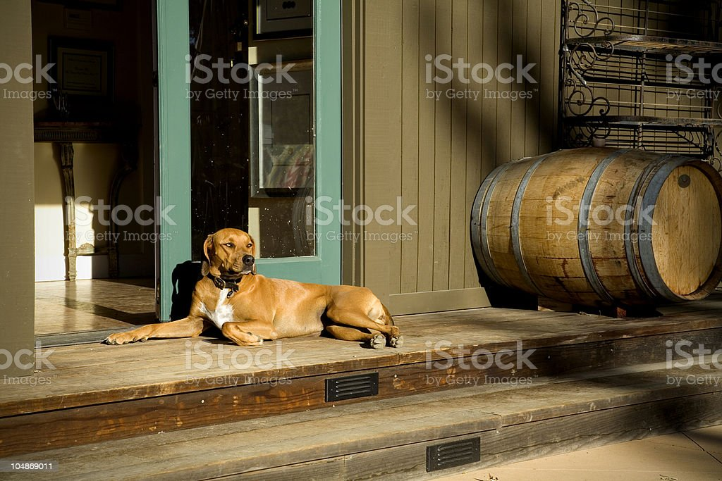 Pointer pooch royalty-free stock photo