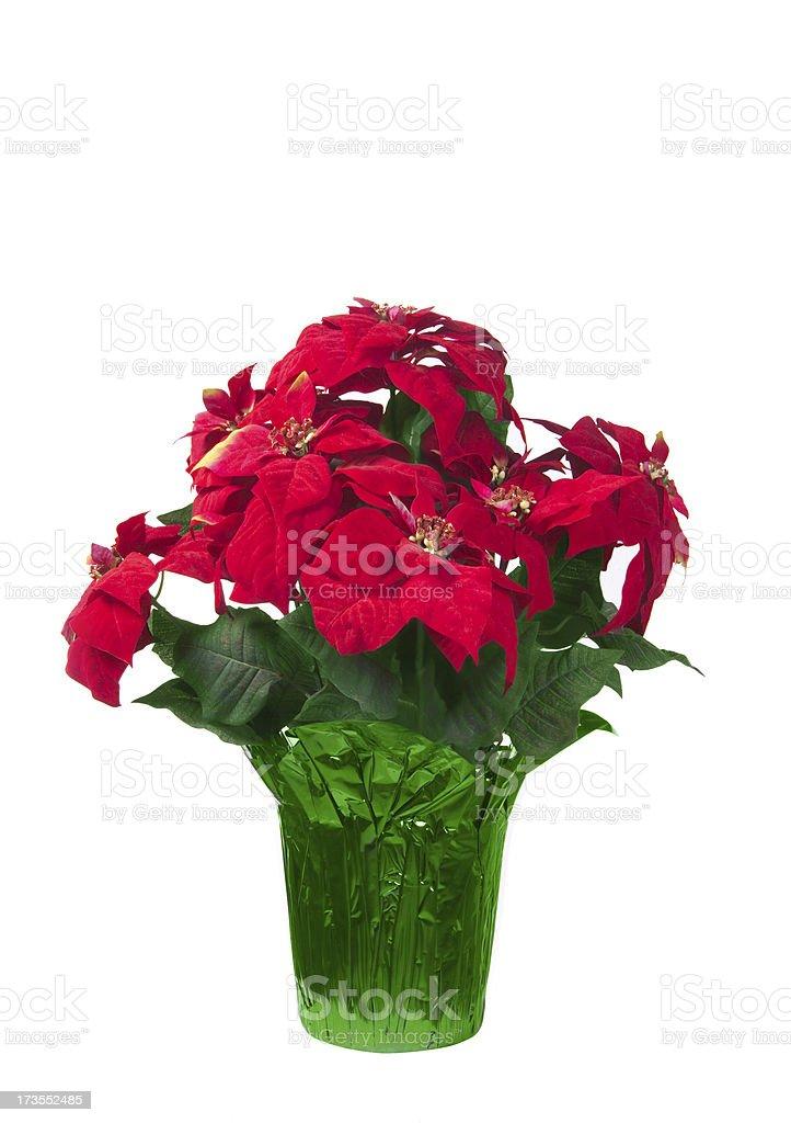 pointsettia plant royalty-free stock photo