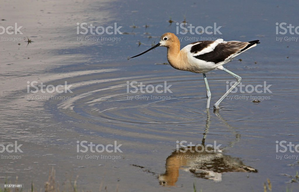Poised American Avocet stock photo
