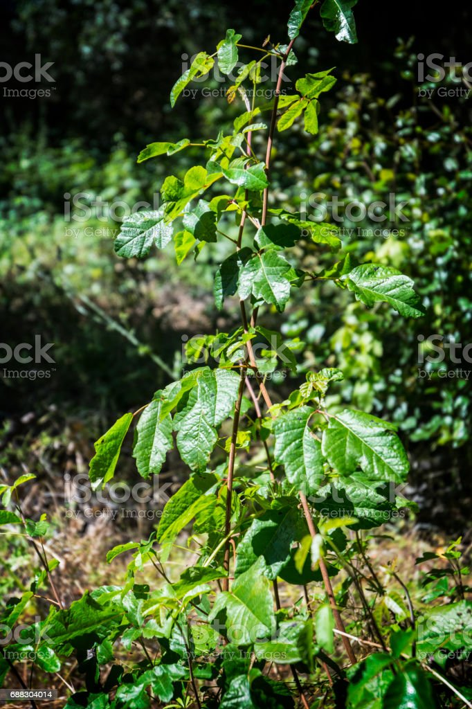 Poisen Oak Ivy Plant In The Woods stock photo
