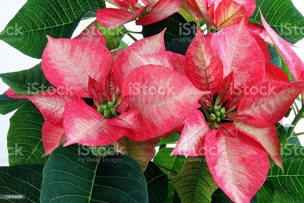 poisettia plant called 'star of Bethleem' royalty-free stock photo