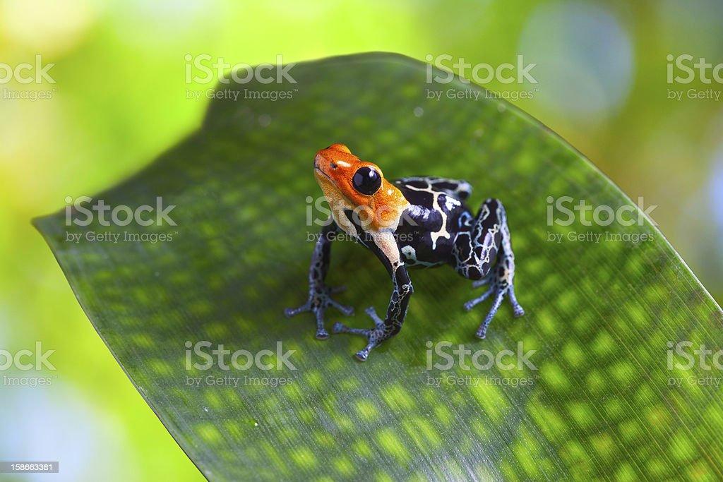 poison arrow frog stock photo