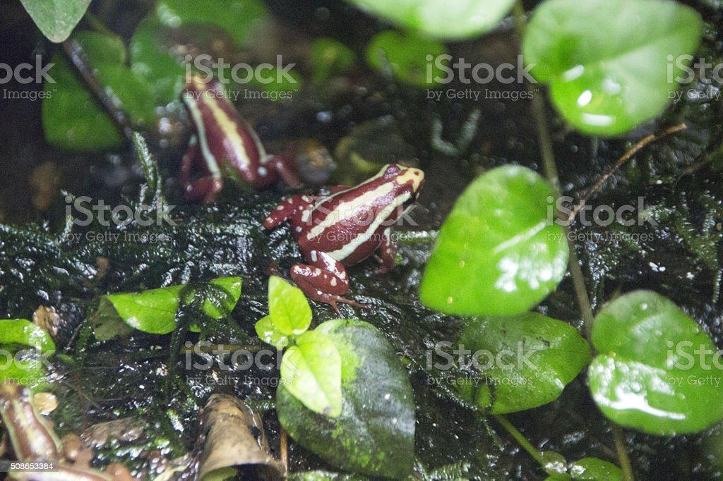 Poison Arrow Frogs stock photo