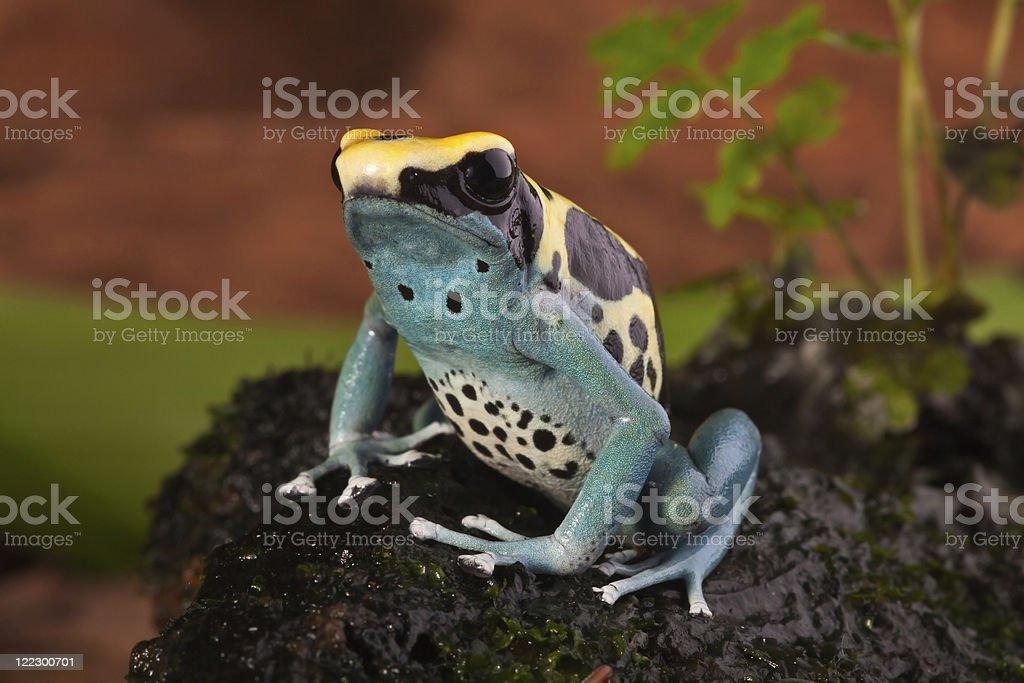 poison dart frog dendrobates tinctorius stock photo