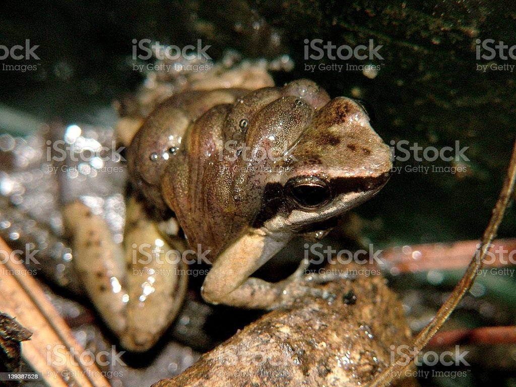 Poison Dart Frog male with tadpoles stock photo